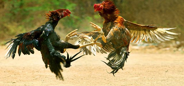 Agen Judi S128 Sabung Ayam Aduan Online